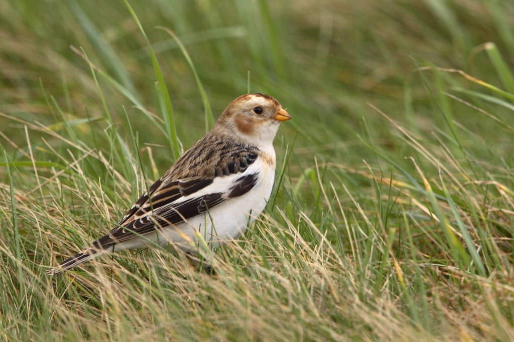 Stock Photo: 4201-44186 Snow Bunting (Plectrophenax nivalis), IJmuiden, Netherlands