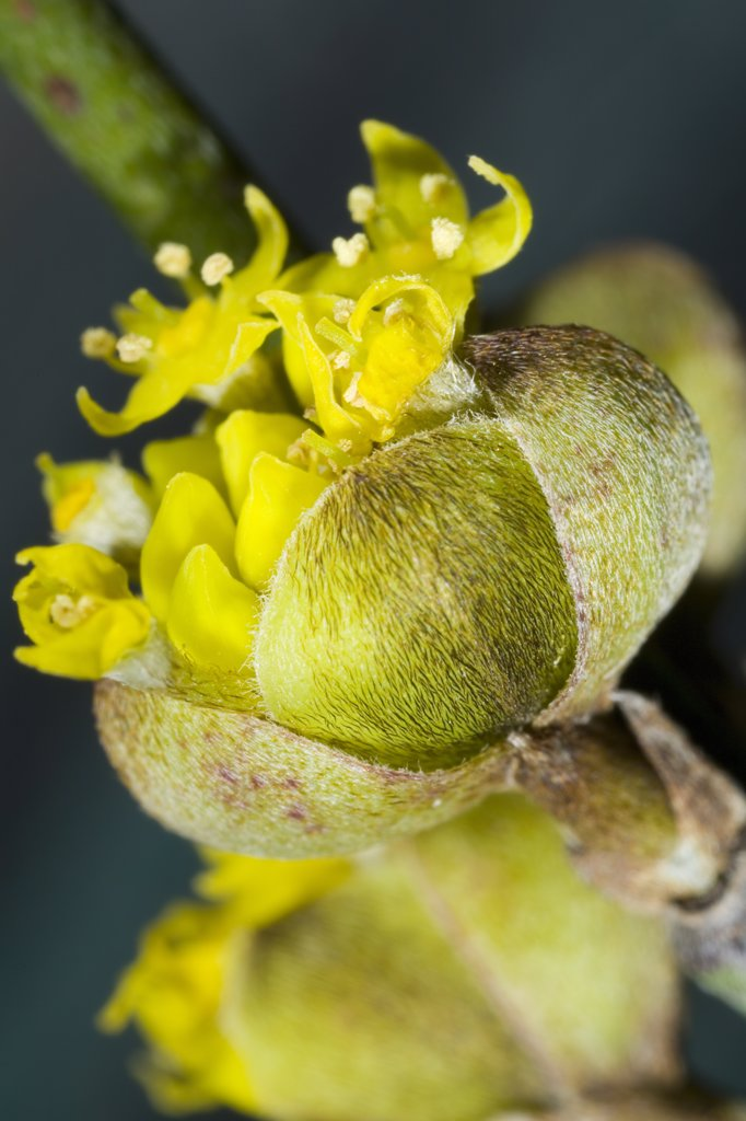 Cornelian Cherry (Cornus mas) flowering, Den Helder, Netherlands : Stock Photo