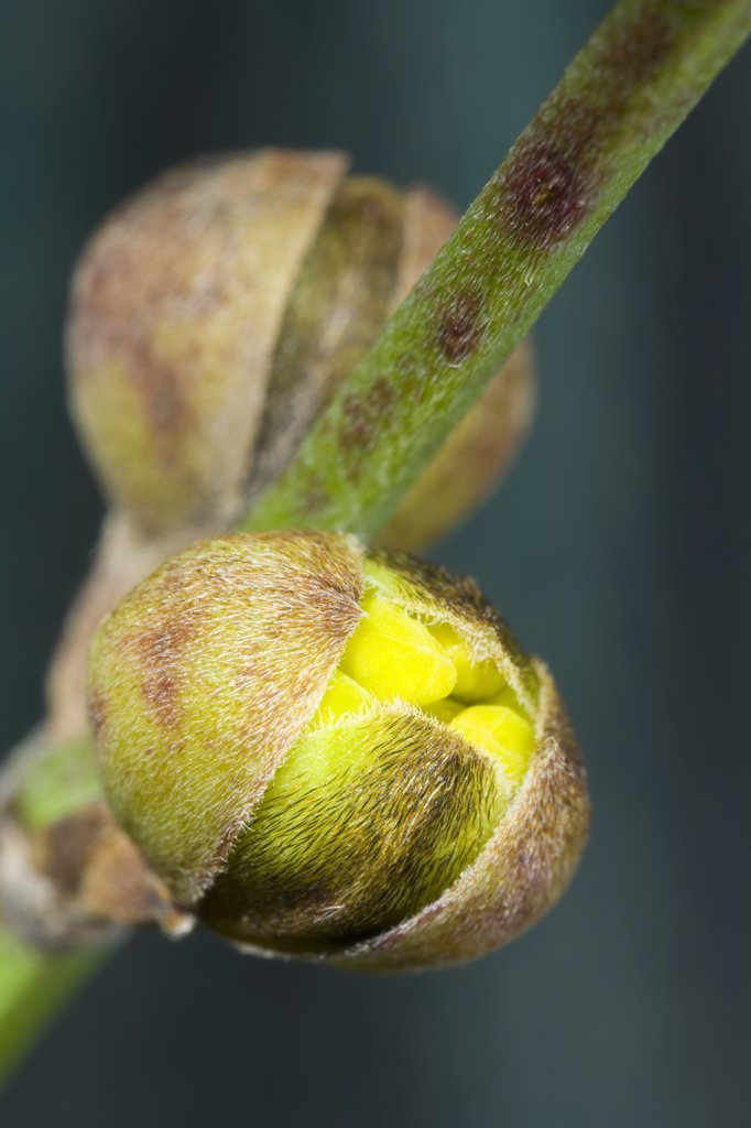 Stock Photo: 4201-44252 Cornelian Cherry (Cornus mas) flowering, Den Helder, Netherlands