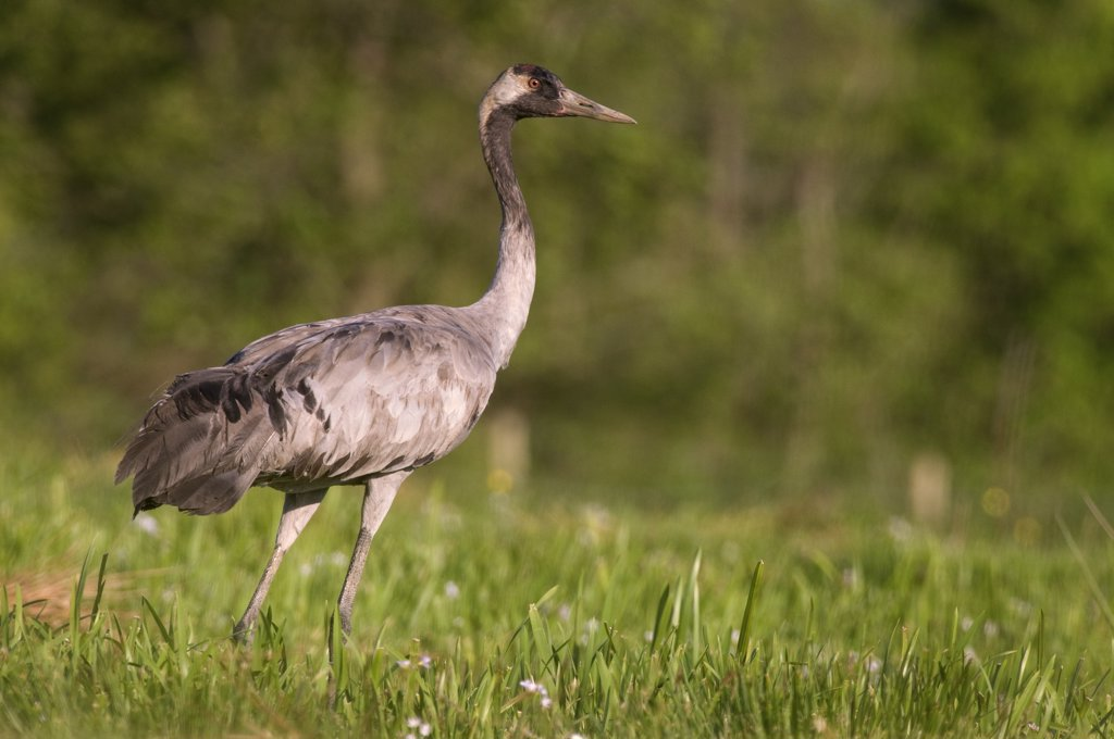 Common Crane (Grus grus), Kollum, Friesland, Netherlands : Stock Photo