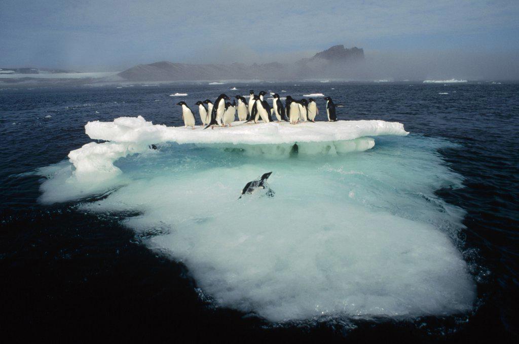 Adelie Penguin (Pygoscelis adeliae) crowding on melting summer ice floe, Possession Island, Ross Sea, Antarctica : Stock Photo