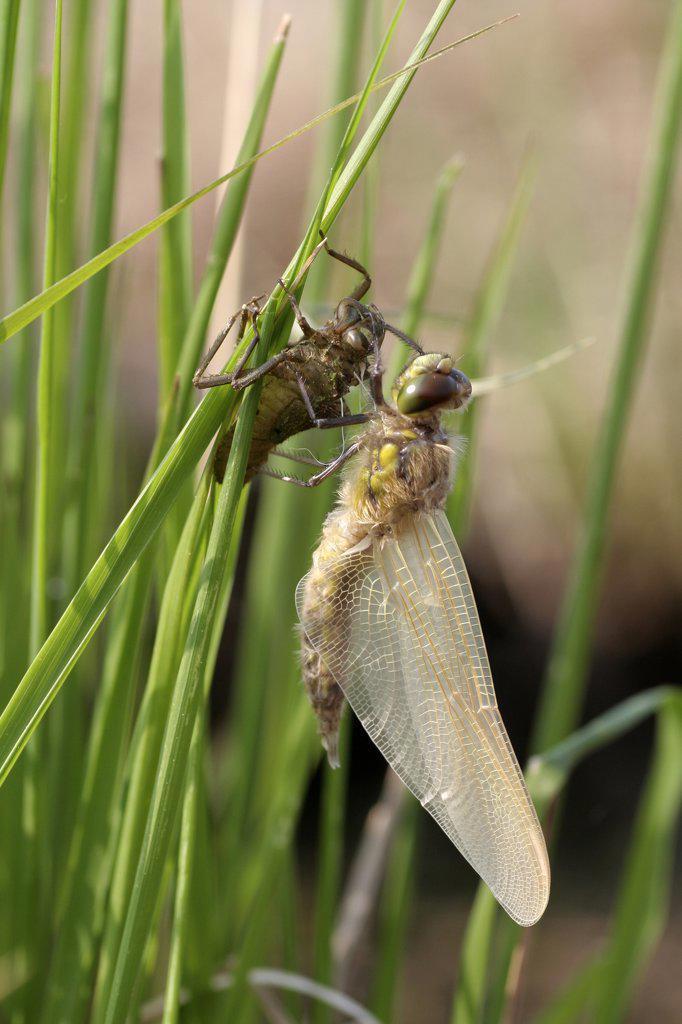 Stock Photo: 4201-45221 Four-spotted Chaser (Libellula quadrimaculata) dragonfly newly hatched, Engbertsdijksvenen, Overijssel, Netherlands