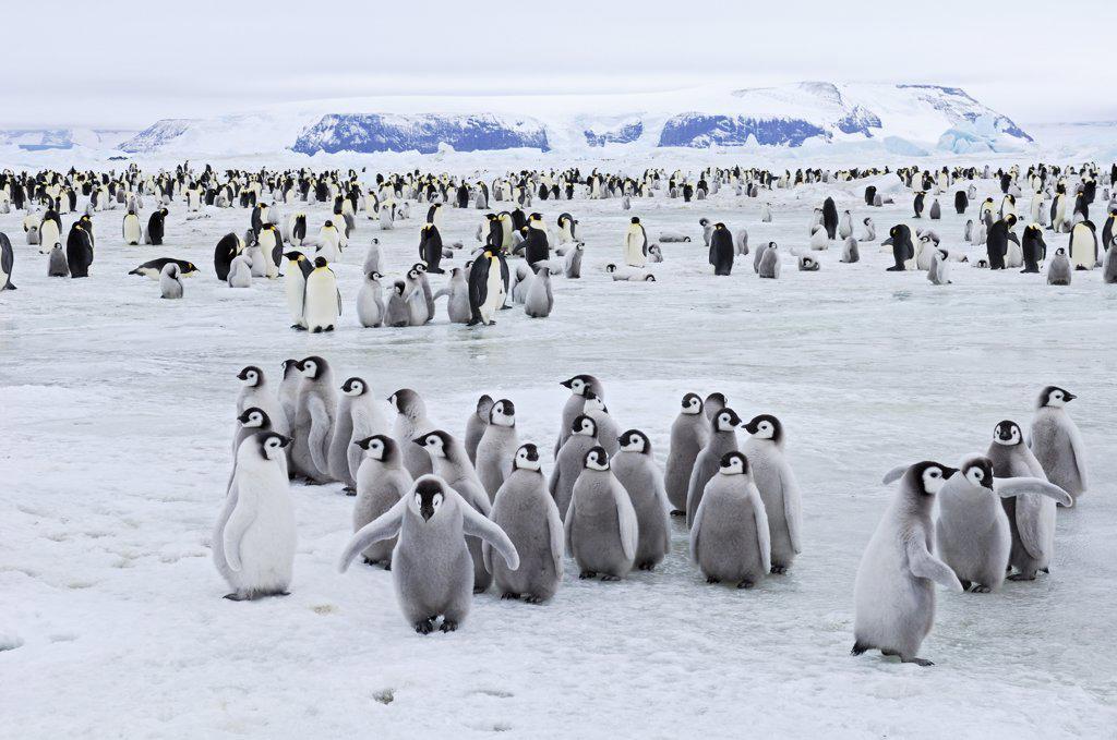 Emperor Penguin (Aptenodytes forsteri) colony, Antarctica : Stock Photo