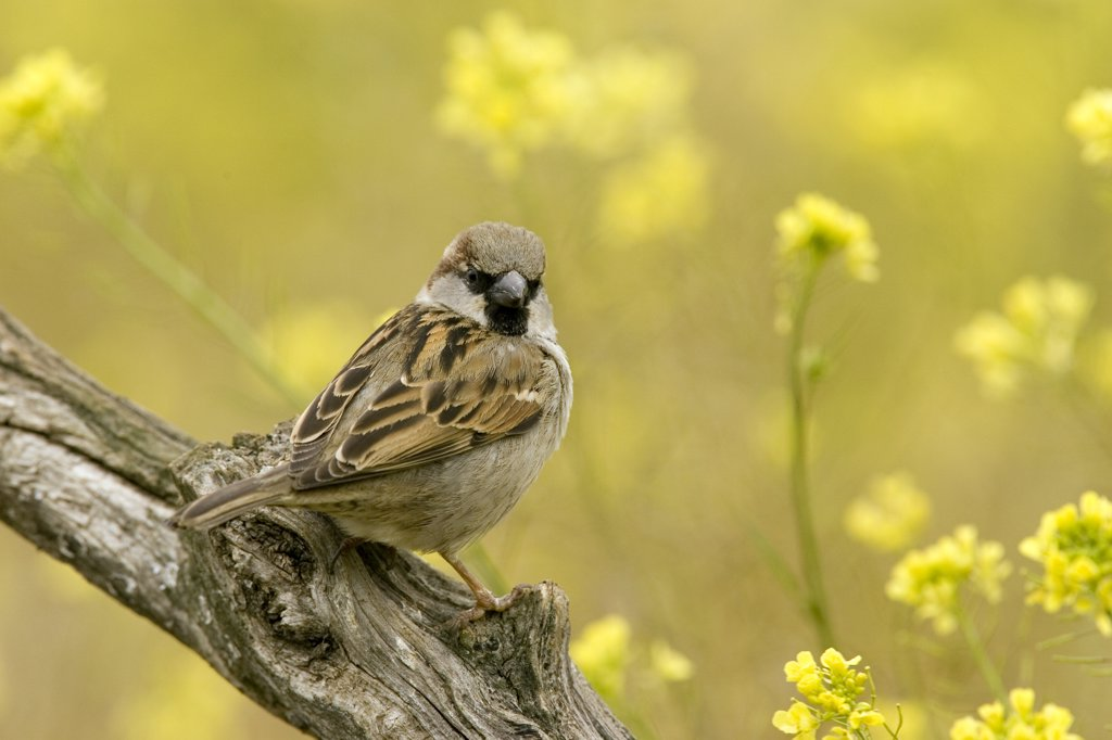 Stock Photo: 4201-45365 House Sparrow (Passer domesticus) male perched on a branch, Seville, Andalusia, Spain
