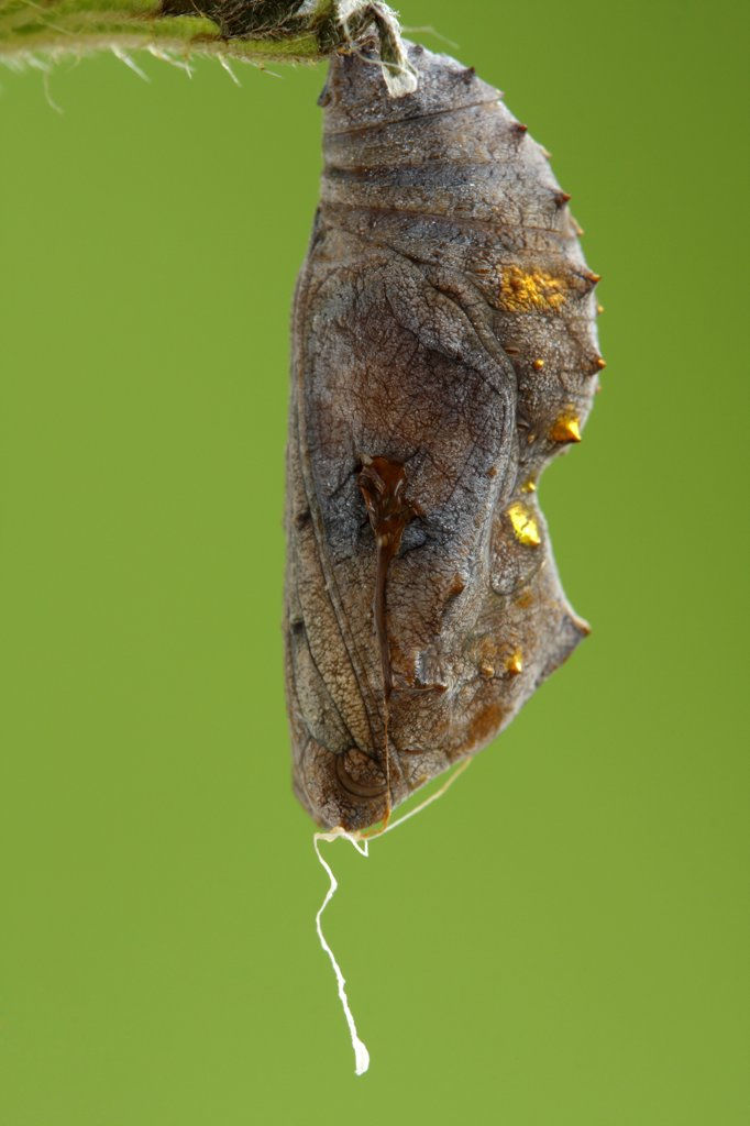 Red Admiral (Vanessa atalanta) pupa killed by parasitic wasp, Hoogeloon, Netherlands : Stock Photo