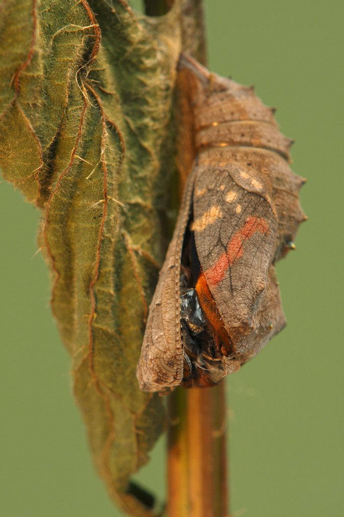 Red Admiral (Vanessa atalanta) metamorphosis sequence, Hoogeloon, Netherlands. Sequence 4 of 14 : Stock Photo