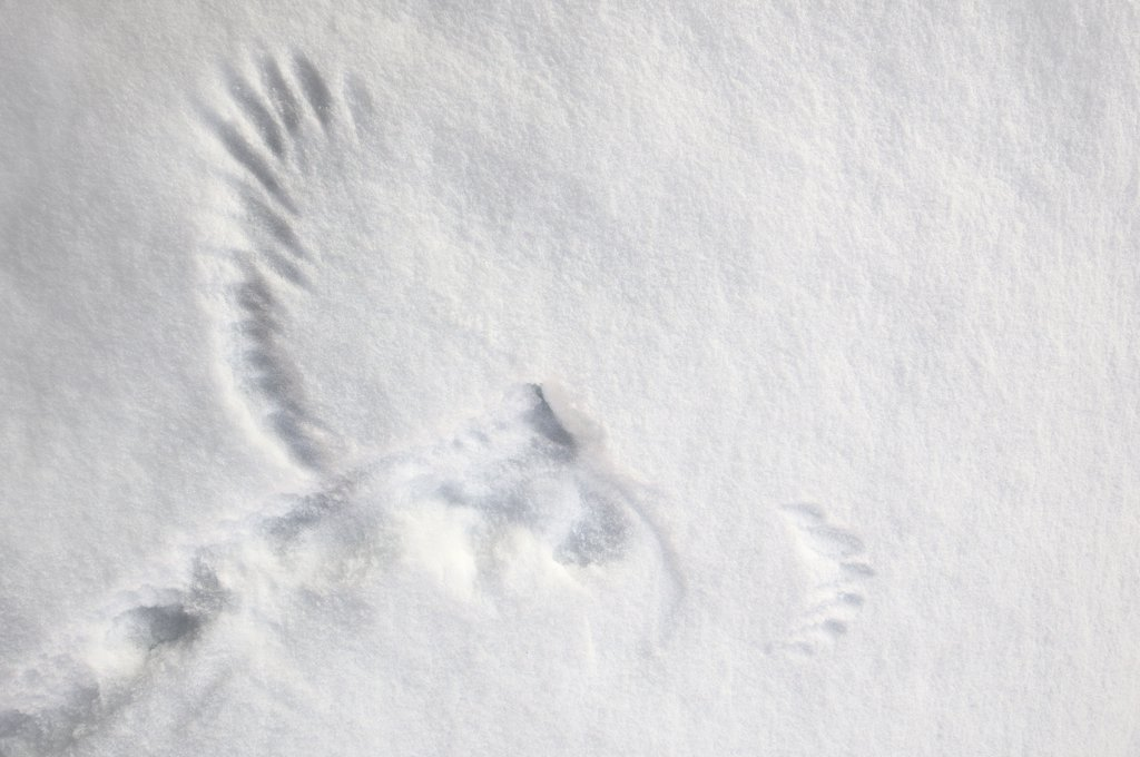 Stock Photo: 4201-45612 Northern Hawk Owl (Surnia ulula) imprint in the snow, Norway