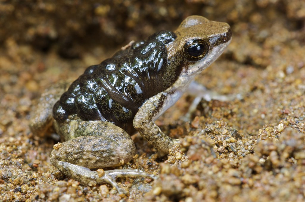 Common Rocket Frog (Colostethus inguinalis) male 'nurse' carrying tadpoles, Panama : Stock Photo