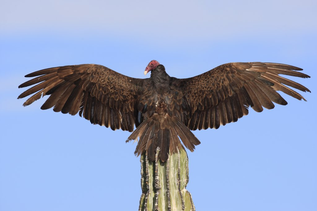 Stock Photo: 4201-46029 Turkey Vulture (Cathartes aura) sunning on cactus, El Vizcaino Biosphere Reserve, Mexico