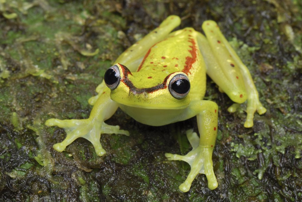 Tree Frog (Hyla rubracyla), Colombia : Stock Photo