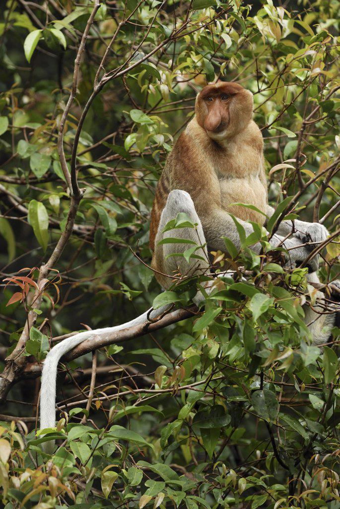 Stock Photo: 4201-46367 Proboscis Monkey (Nasalis larvatus) male, Sabah, Borneo, Malaysia
