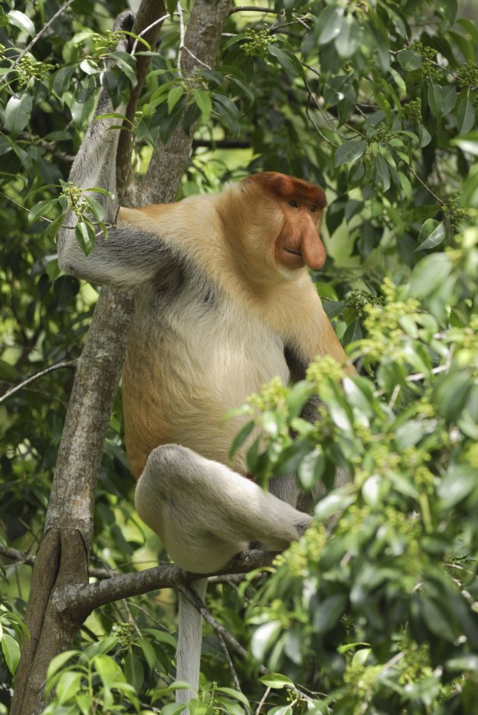 Stock Photo: 4201-46380 Proboscis Monkey (Nasalis larvatus) male in rainforest canopy, Sabah, Borneo, Malaysia
