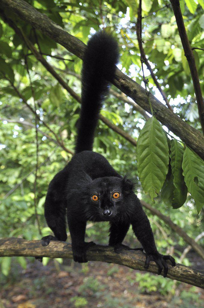 Black Lemur (Lemur macaco) male, Lokobe Nature Special Reserve, Madagascar : Stock Photo