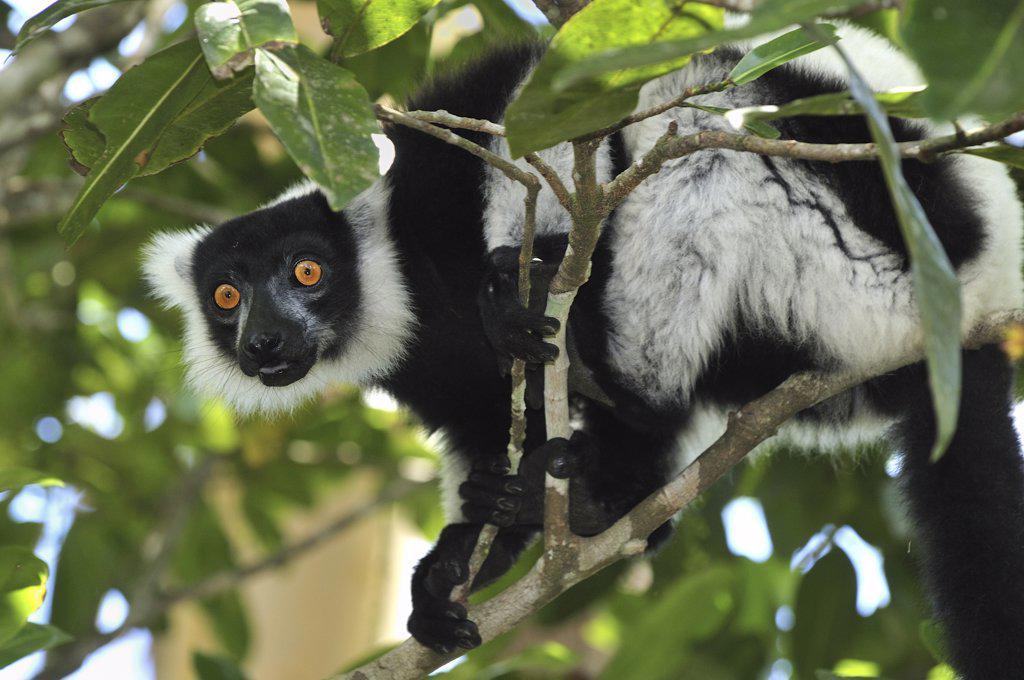 Stock Photo: 4201-46771 Black and White Ruffed Lemur (Varecia variegata variegata), Toamasina, Madagascar