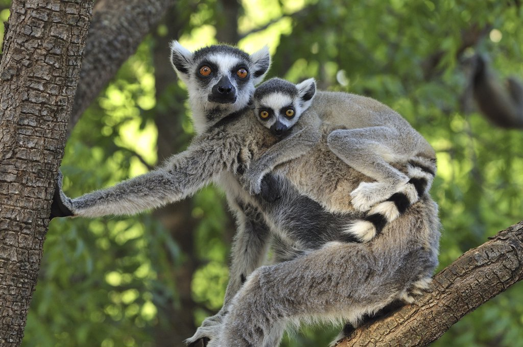 Ring-tailed Lemur (Lemur catta) female and baby, Berenty Private Reserve, Madagascar : Stock Photo