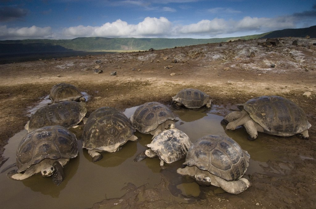 Stock Photo: 4201-46918 Volcan Alcedo Giant Tortoise (Geochelone nigra vandenburghi) group in wallow, Alcedo Volcano crater floor, Isabella Island, Galapagos Islands, Ecuador