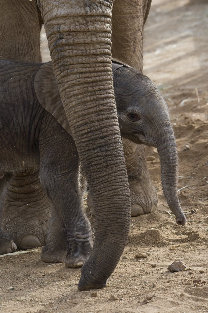 Stock Photo: 4201-46971 African Elephant (Loxodonta africana) mother and calf, native to Africa