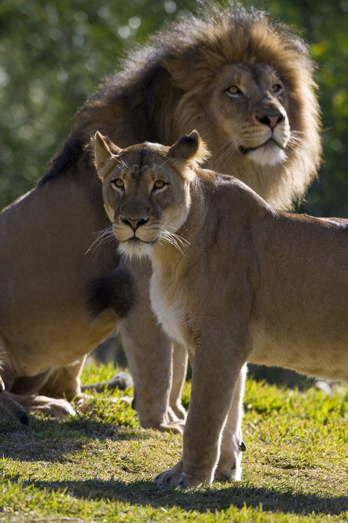 Stock Photo: 4201-46979 African Lion (Panthera leo) male and female, native to Africa