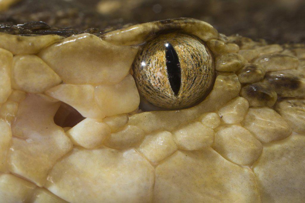 Stock Photo: 4201-46981 Brazilian Lancehead (Bothrops moojeni) snake showing eye and pit sensory organ, native to South America