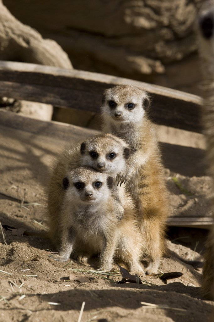 Meerkat (Suricata suricatta) trio, native to Africa : Stock Photo