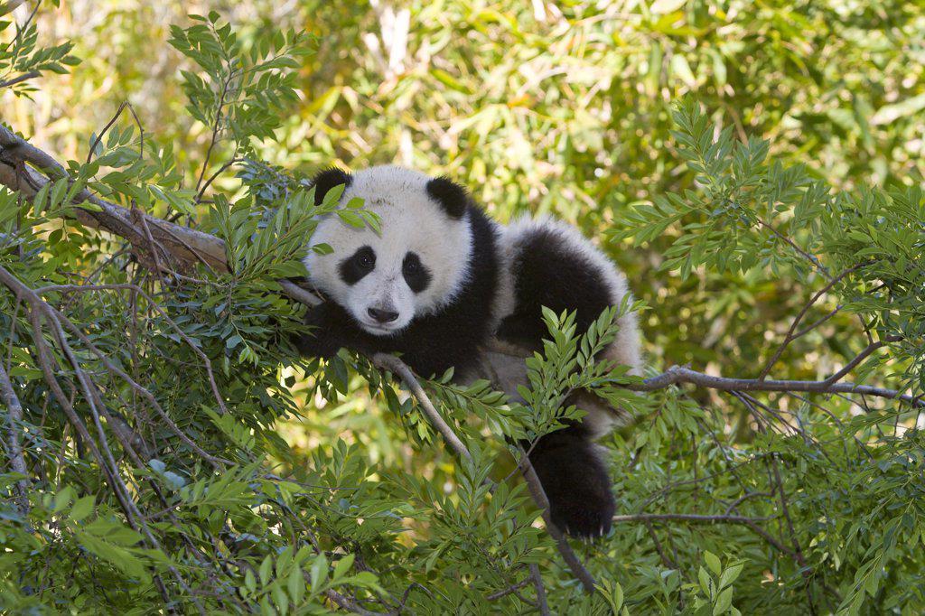Giant Panda (Ailuropoda melanoleuca) resting in tree, native to China : Stock Photo