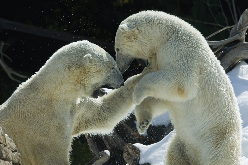 Stock Photo: 4201-46997 Polar Bear (Ursus maritimus) pair fighting, native to North America