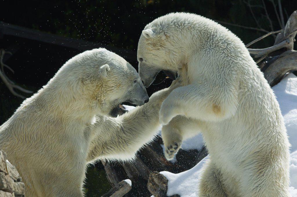 Polar Bear (Ursus maritimus) pair fighting, native to North America : Stock Photo