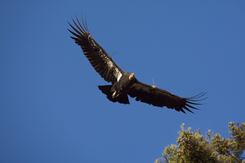 Stock Photo: 4201-47007 California Condor (Gymnogyps californianus) flying, native to North America