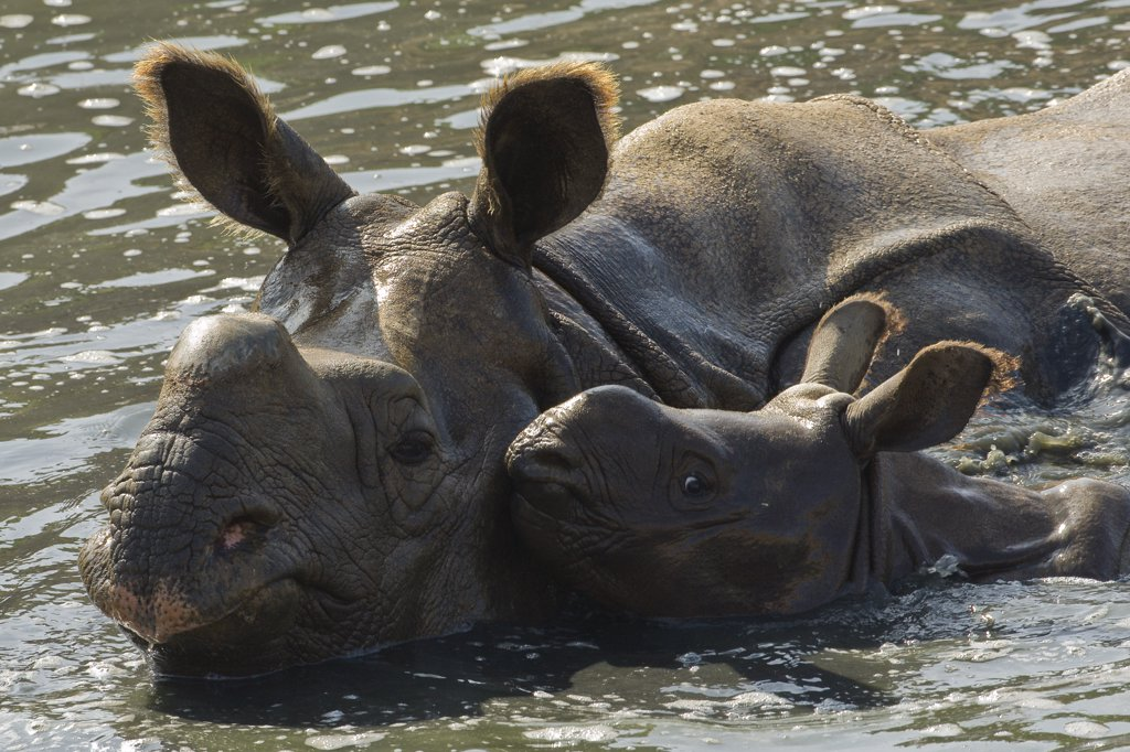 Stock Photo: 4201-47014 Indian Rhinoceros (Rhinoceros unicornis) mother and calf in water, native to India