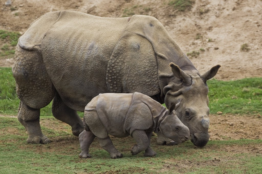 Stock Photo: 4201-47015 Indian Rhinoceros (Rhinoceros unicornis) mother and calf, native to India