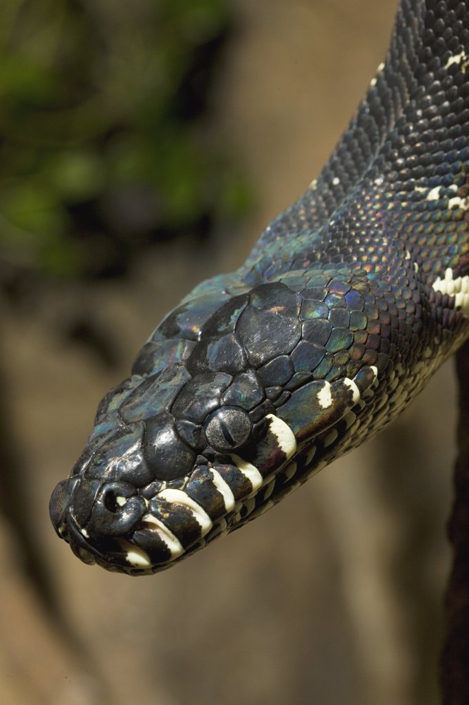 Boelen's Python (Morelia boeleni) portrait, native to New Guinea : Stock Photo