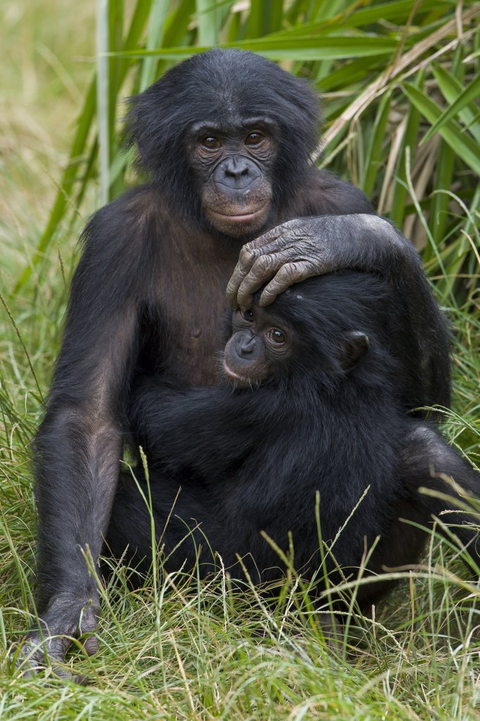 Stock Photo: 4201-47025 Bonobo (Pan paniscus) sub-adult and baby, native to Africa