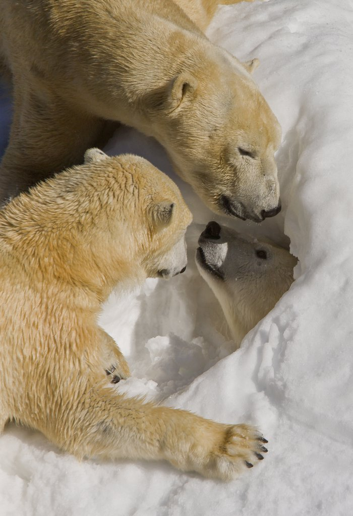 Polar Bear (Ursus maritimus) trio around den, native to North America : Stock Photo