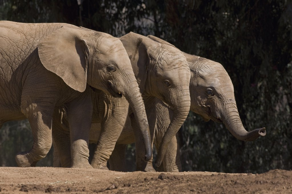 African Elephant (Loxodonta africana) trio, native to Africa : Stock Photo