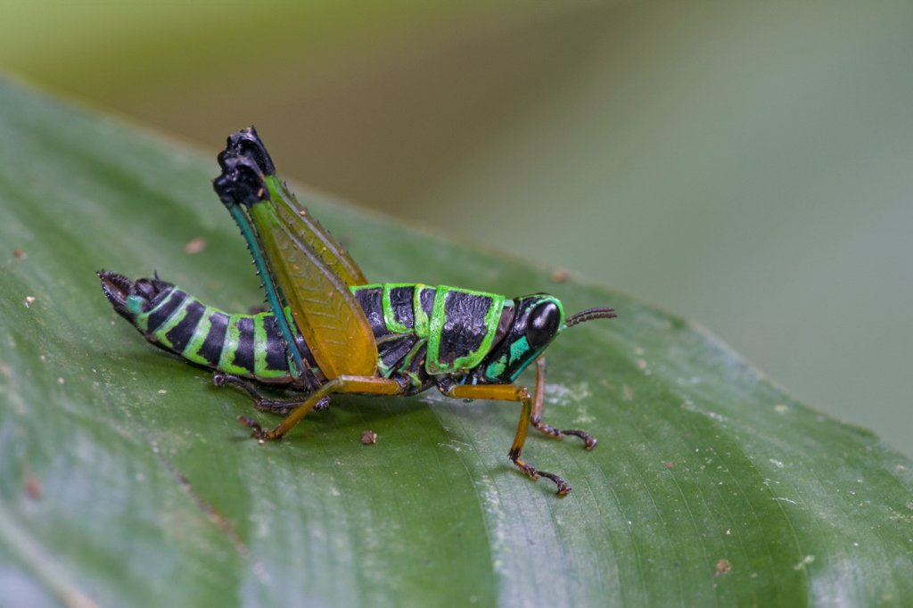Grasshopper (Eumastacidae) has bright, aposematic coloration that advertises the toxicity of its body, Atewa Range, Ghana : Stock Photo