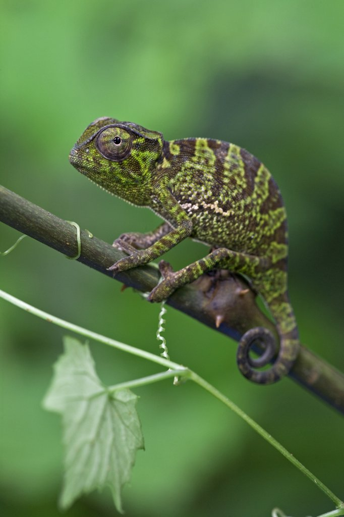 Stock Photo: 4201-47143 Graceful Chameleon (Chamaeleo gracilis) juvenile, Atewa Range, Ghana