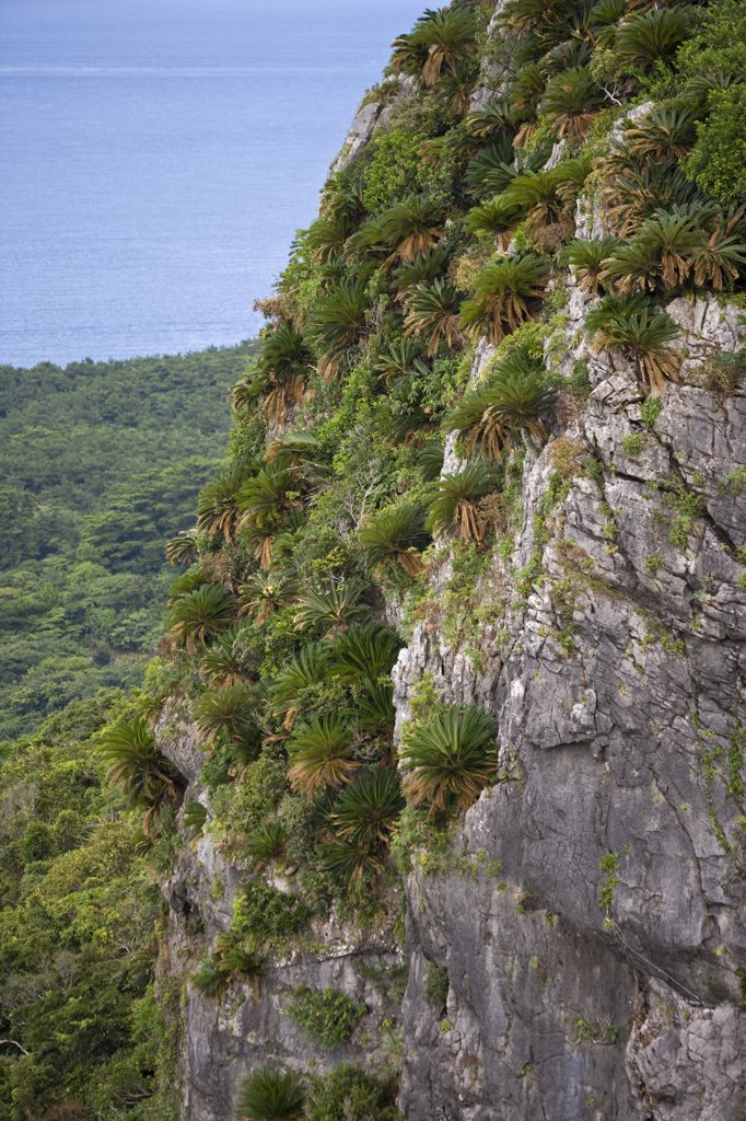 Sago Cycad (Cycas revoluta) trees on karst formation, Hedo, Okinawa, Japan : Stock Photo