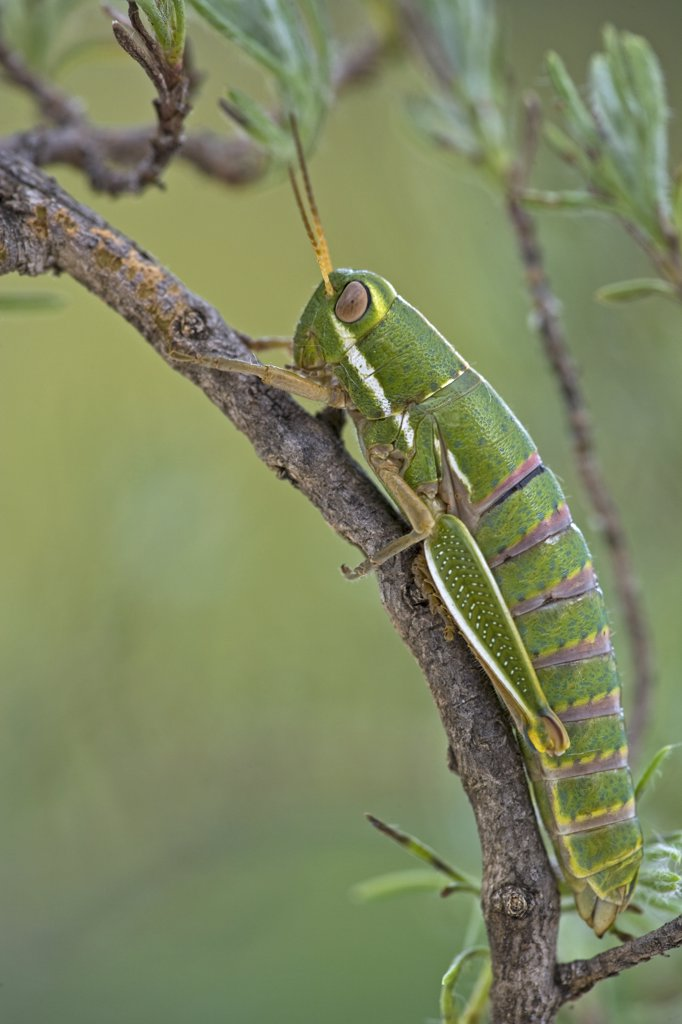 Wingless Grasshopper (Lentulidae), Maloti Mountains, Lesotho, South Africa : Stock Photo