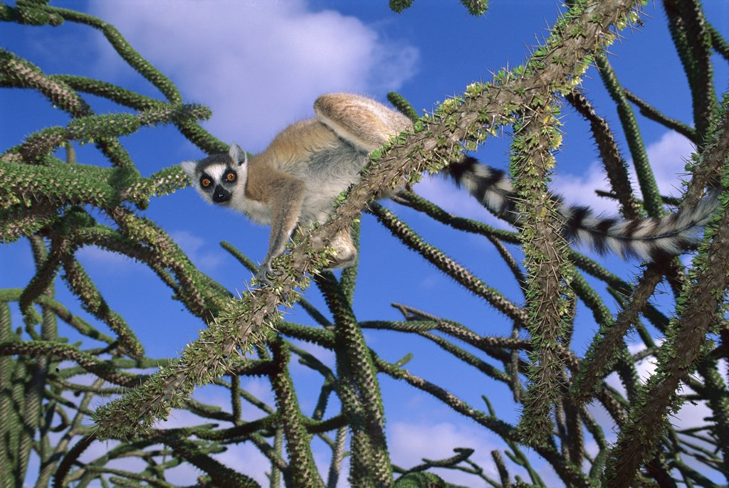 Stock Photo: 4201-47609 Ring-tailed Lemur (Lemur catta) in Octopus tree, Mantady National Park, Madagascar
