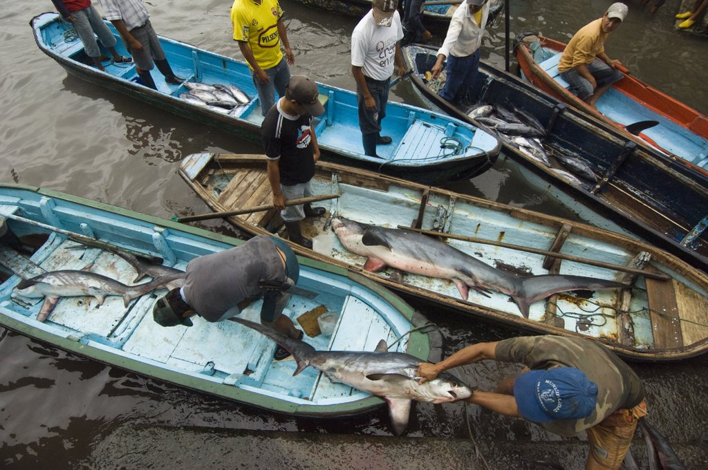 Stock Photo: 4201-47948 Bigeye Thresher Shark (Alopias superciliosus) probably caught in gill nets, offloaded from fishing boats, Santa Rosa Fishing Village, Santa Elena Peninsula, Ecuador