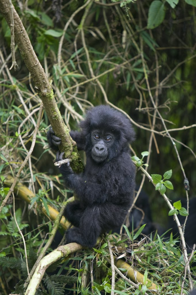Stock Photo: 4201-47980 Mountain Gorilla (Gorilla gorilla beringei) baby playing on bamboo pole, Parc National des Volcans, Rwanda