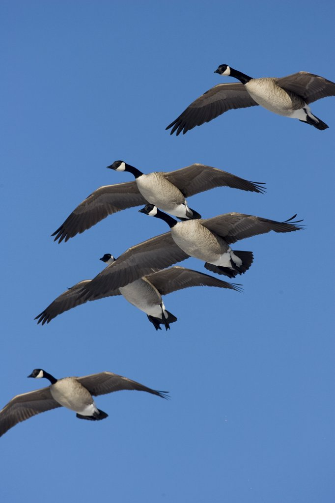 Canada Goose (Branta canadensis) flock flying, central Montana : Stock Photo