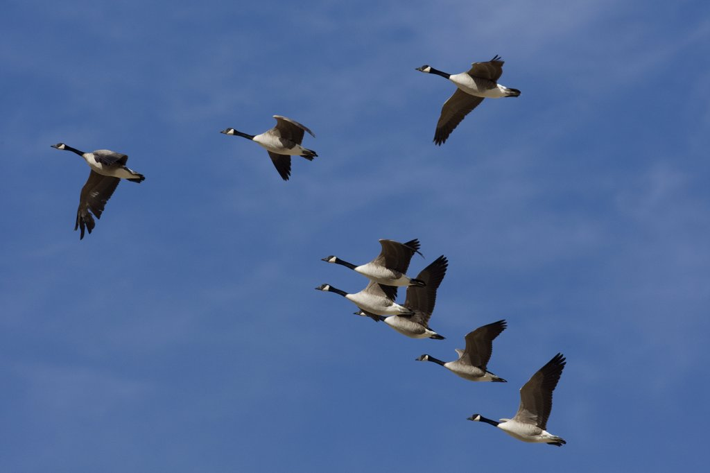 Stock Photo: 4201-48153 Canada Goose (Branta canadensis) flock flying, central Montana