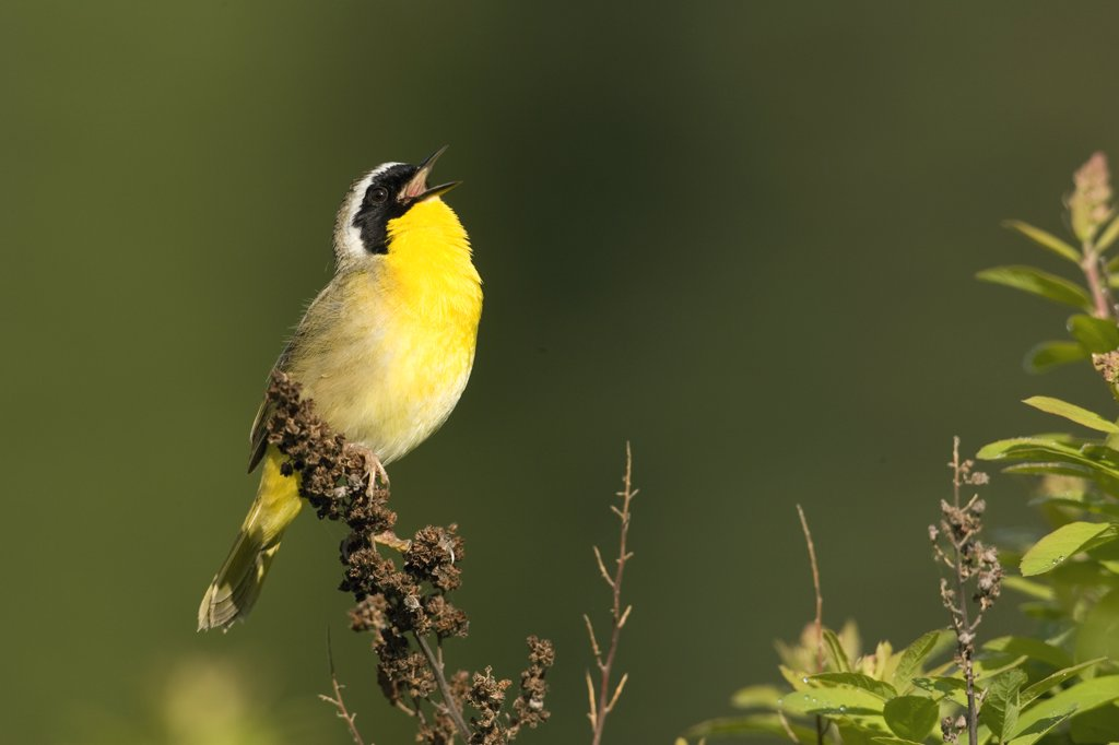 Stock Photo: 4201-48209 Common Yellowthroat (Geothlypis trichas) male singing, western Montana