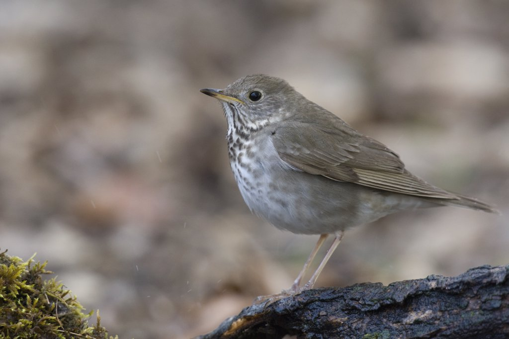 Gray-cheeked Thrush (Catharus minimus), eastern Montana : Stock Photo