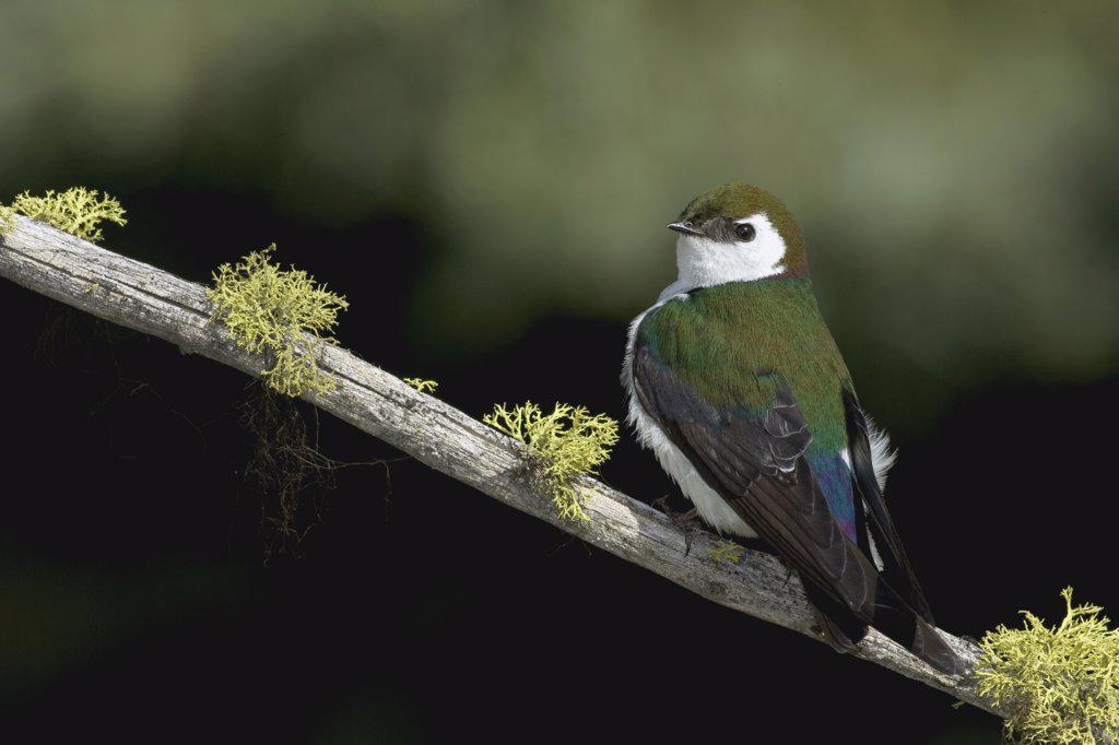 Violet-green Swallow (Tachycineta thalassina) male, western Montana : Stock Photo