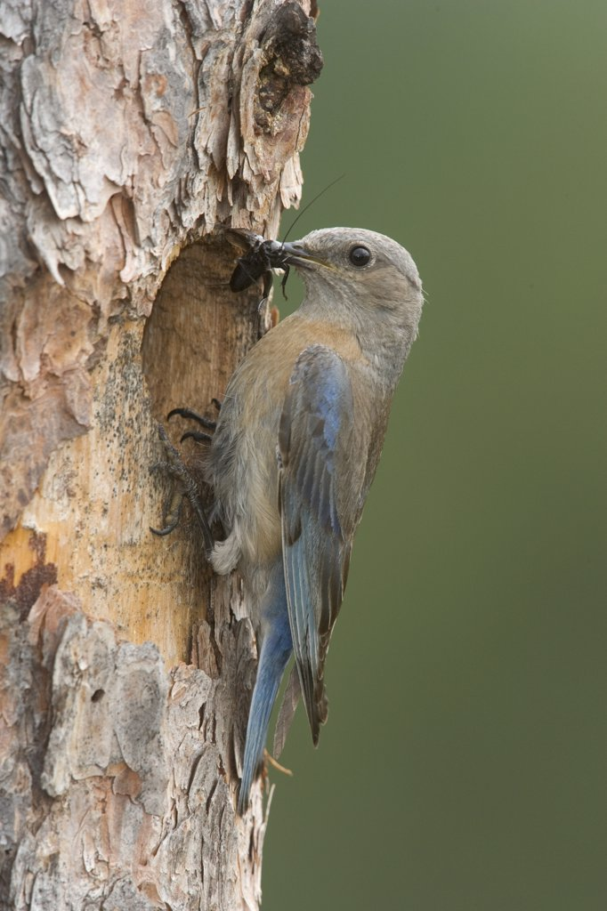 Stock Photo: 4201-48635 Western Bluebird (Sialia mexicana) female at nest cavity entrance with insect in beak, western Montana