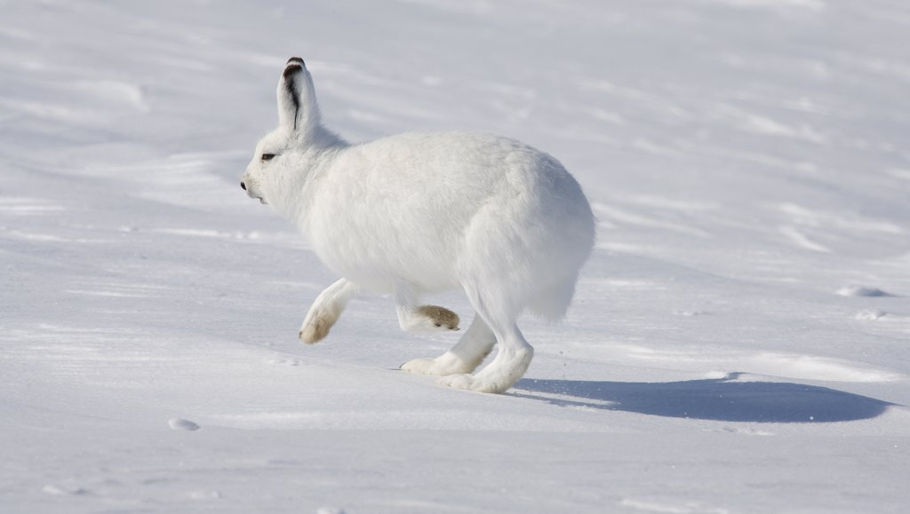 Stock Photo: 4201-48716 Arctic Hare (Lepus arcticus) hopping, Banks Island, Canada