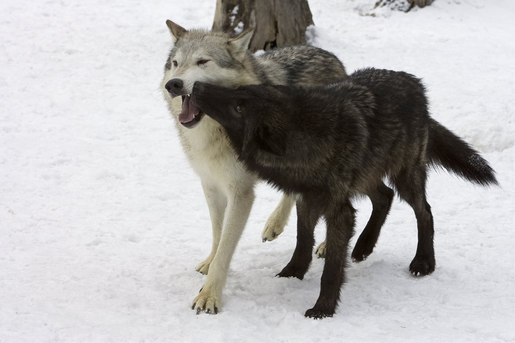 Stock Photo: 4201-48831 Timber Wolf (Canis lupus), lower ranking wolf exhibiting submissive behavior, Montana