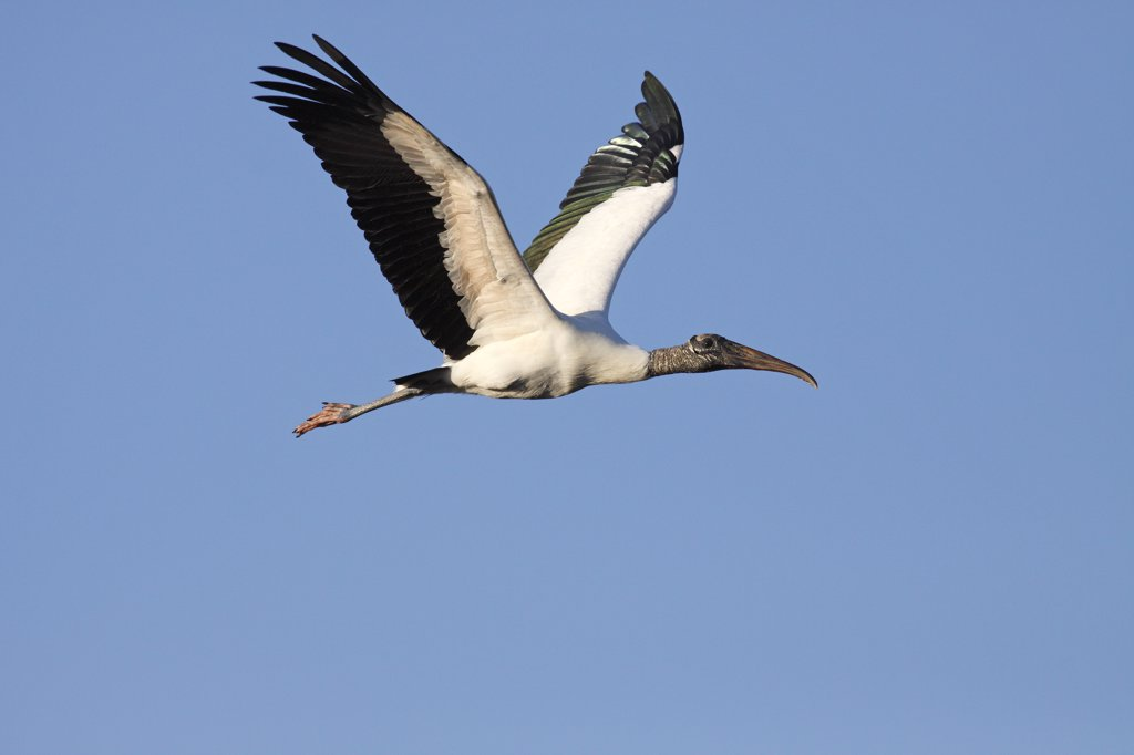 Stock Photo: 4201-48968 Wood Stork (Mycteria americana) flying, Everglades National Park, Florida